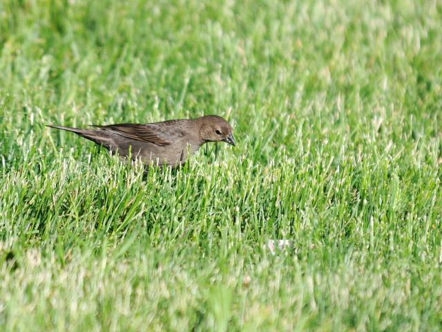 コウウチョウ ♀ 成鳥 (6態-5) 西ポトマック公園 ワシントンDC 米国 2013/05/26 Photo by Kohyuh