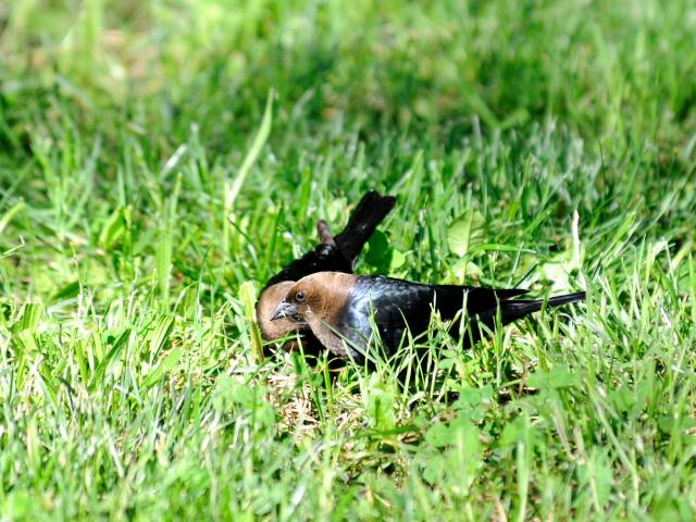 コウウチョウ ♂ 成鳥 (6態-1) 西ポトマック公園 ワシントンDC 米国 2013/05/26 Photo by Kohyuh
