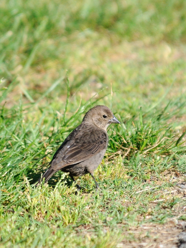コウウチョウ ♀ 成鳥 (6態-6) 西ポトマック公園 ワシントンDC 米国 2013/05/26 Photo by Kohyuh