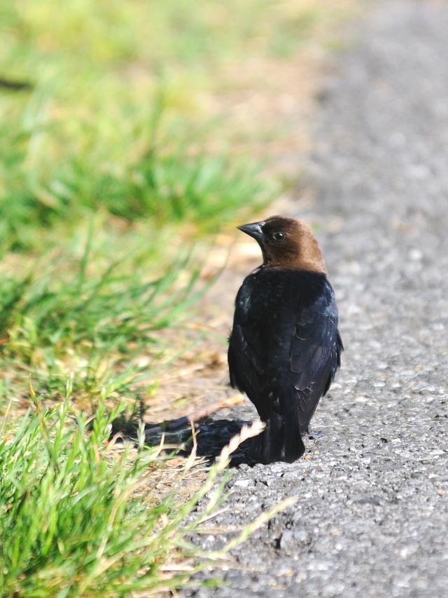 コウウチョウ ♂ 成鳥 (6態-3) 西ポトマック公園 ワシントンDC 米国 2013/05/26 Photo by Kohyuh