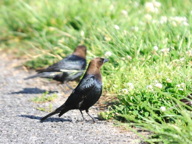 コウウチョウ ♂ 成鳥 (6態-4) 西ポトマック公園 ワシントンDC 米国 2013/05/26 Photo by Kohyuh