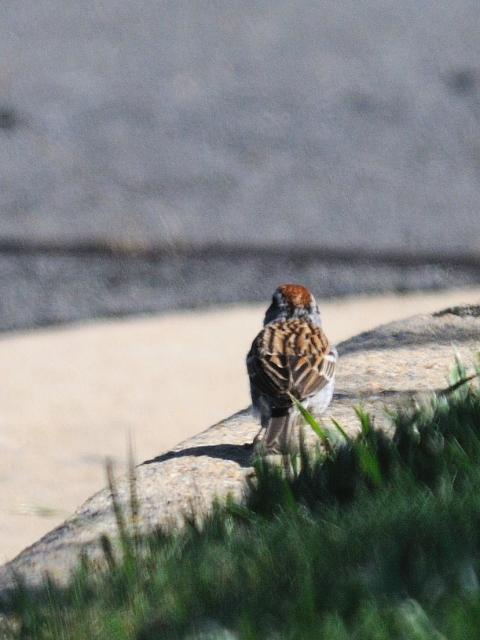 チャガシラヒメドリ 成鳥 (4態-6) モッシー・バンク公園 バース ニューヨーク州 米国 Mossy Bank Park, Bath, NY, USA 2013/05/23 Photo by Kohyuh