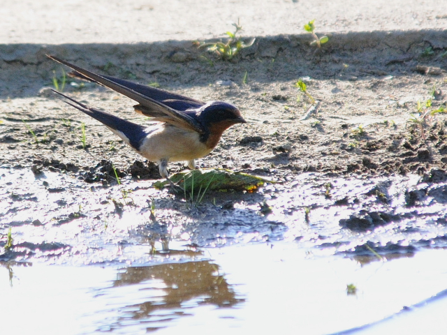 ツバメ(3態-2) 西ポトマック公園 ワシントンDC 米国 West Potomac Park, Wasington, DC, America 2013/05/26 Photo by Kohyuh