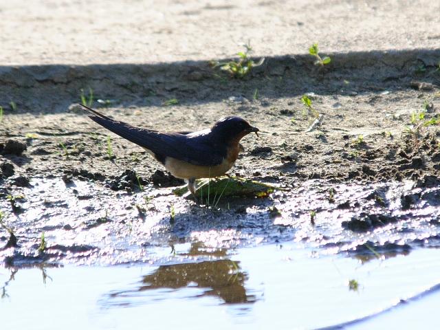ツバメ(3態-3) 西ポトマック公園 ワシントンDC 米国 West Potomac Park, Wasington, DC, America 2013/05/26 Photo by Kohyuh