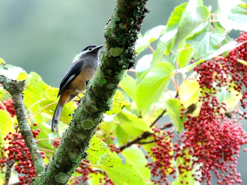 ミミジロチメドリ 成鳥 (6態-2) 賞鳥平台 大雪山国家森林遊楽区 台湾 Bird Watching Deck, Dasyueshan National Forest Recreation Area, Taiwan 2012/11/28 Photo by Kohyuh