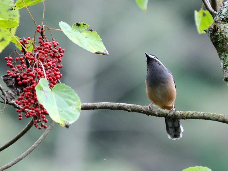 ミミジロチメドリ 成鳥 (6態-3) 賞鳥平台 大雪山国家森林遊楽区 台湾 Bird Watching Deck, Dasyueshan National Forest Recreation Area, Taiwan 2012/11/28 Photo by Kohyuh