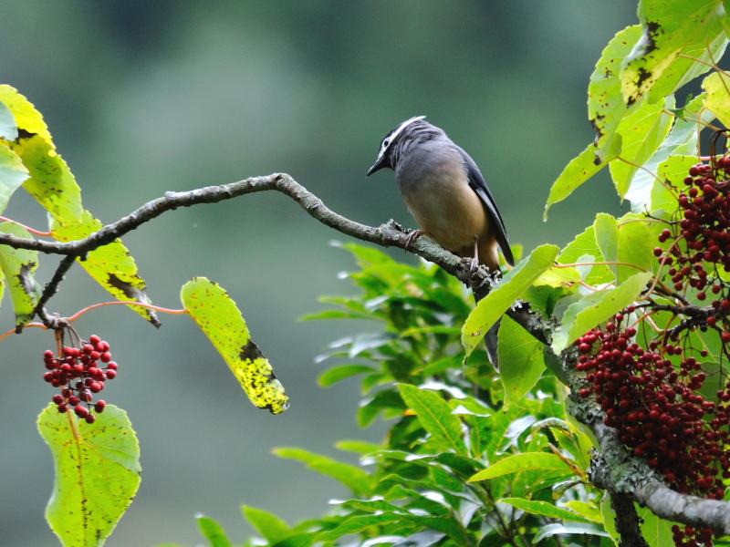 ミミジロチメドリ 成鳥 (6態-4) 賞鳥平台 大雪山国家森林遊楽区 台湾 Bird Watching Deck, Dasyueshan National Forest Recreation Area, Taiwan 2012/11/28 Photo by Kohyuh