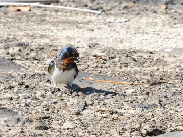 ツバメの幼鳥 (3態-1) かわきた公園 八幡市 2015/05/22 Photo by Kohyuh
