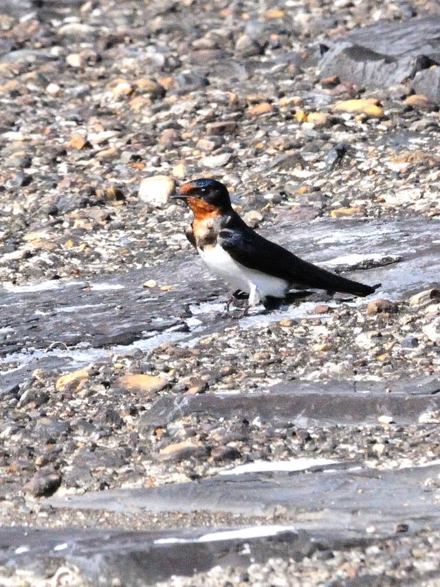 ツバメの幼鳥 (3態-3) かわきた公園 八幡市 2015/05/22 Photo by Kohyuh