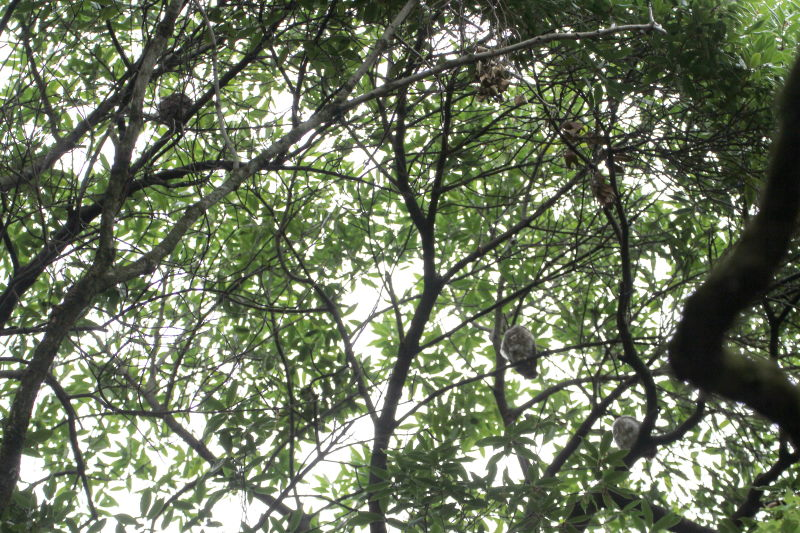 photo11 2015/07/21 アオバズクを観る Photo by 萬田