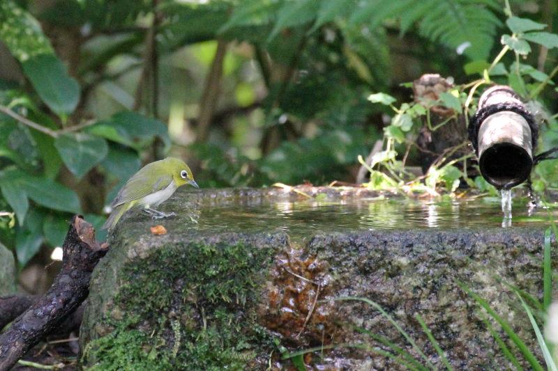 photo2 2015/07/21 アオバズクを観る Photo by 萬田