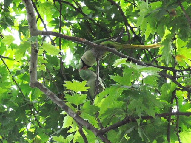 オオホンセイインコ 成鳥 (10態-10) トプカプ宮殿公園 イスタンブール トルコ Topkapi Palace Park, Istanbul, Turkey 2015/06/03 Photo by Kohyuh