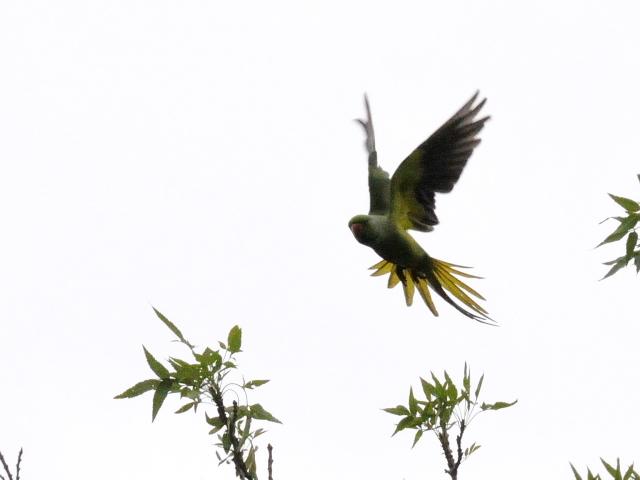 オオホンセイインコ 成鳥 (10態-2) トプカプ宮殿公園 イスタンブール トルコ Topkapi Palace Park, Istanbul, Turkey 2015/06/03 Photo by Kohyuh