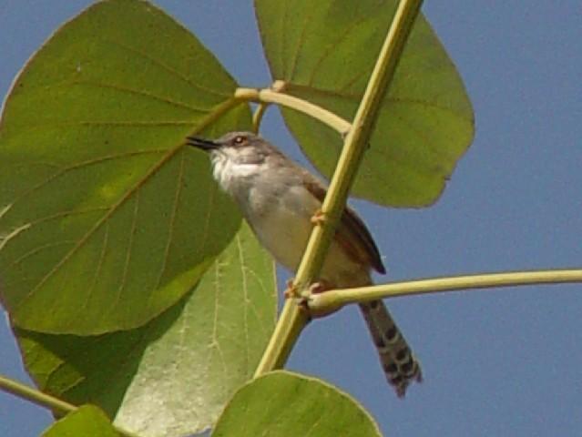�@ ハイムネハウチワドリ 成鳥 チェンマイ タイ Chiang Mai, Thailand 2007/01/22 Photo by Kohyuh