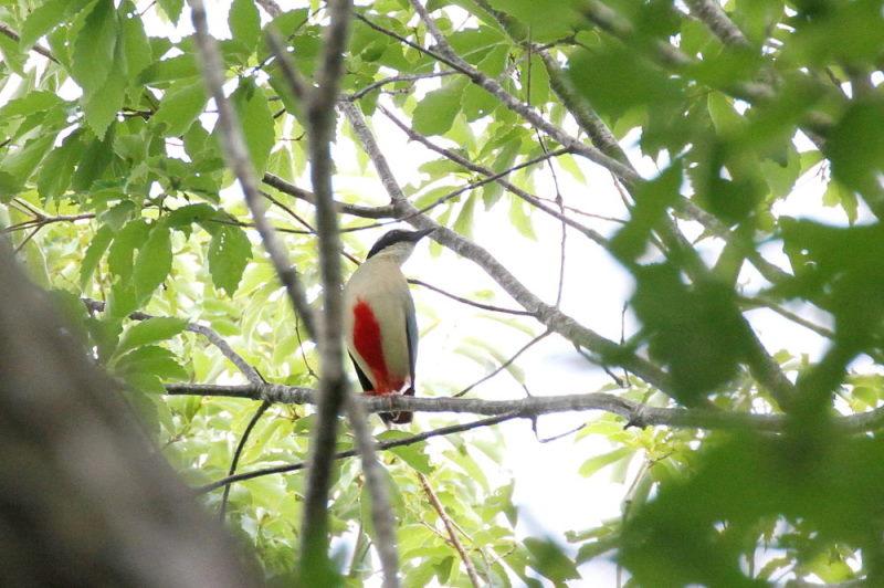 Photo-20150622 ヤイロチョウ 成鳥 (6態-6) 朽木の森 京都府 2015/06/22 Photo by Manda