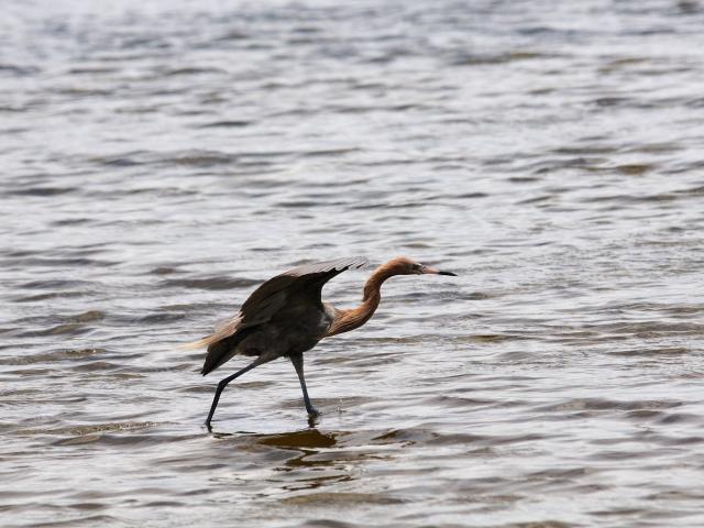 アカゲサギ (7態-4) ブラック・ポイント・ドライブ メリット島国立野生動物保護区 メリット島 フロリダ 米国 Black Point Wildlife Drive, Merritt Island National Wildlife Refuge, Merritt Island, Atlantic coast of Florida, USA, 2013/06/02 Photo by Kohyuh
