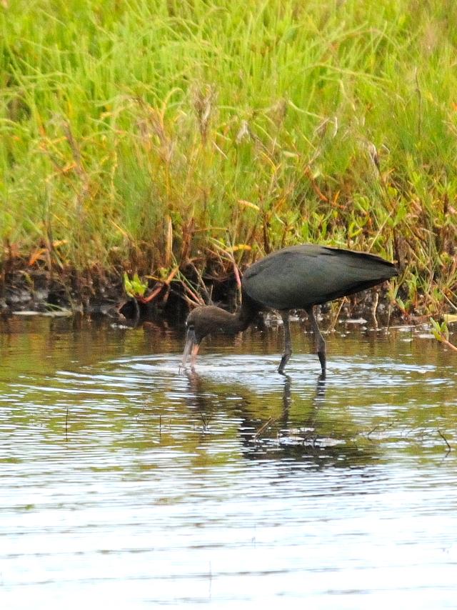 ブロンズトキ (6態-2) ブラック・ポイント・ドライブ メリット島国立野生動物保護区 メリット島 フロリダ 米国 Black Point Wildlife Drive, Merritt Island National Wildlife Refuge Merritt Island, 2013/06/02 Photo by Kohyuh