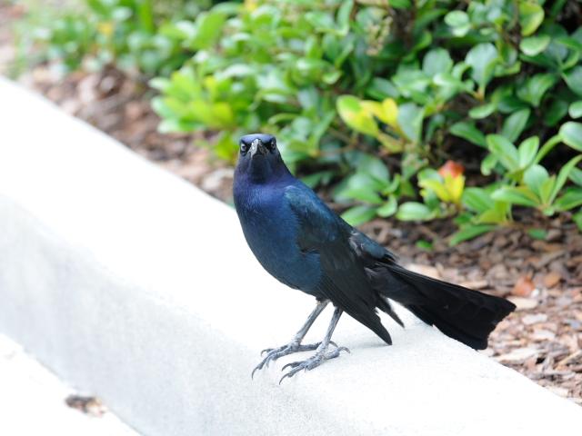 キタオナガクロムクドリモドキ (8態-2) ブラック・ポイント・ドライブ メリット島国立野生動物保護区 メリット島 フロリダ 米国 Black Point Wildlife Drive, Merritt Island National Wildlife Refuge, 2013/06/02, Photo by Kohyuh