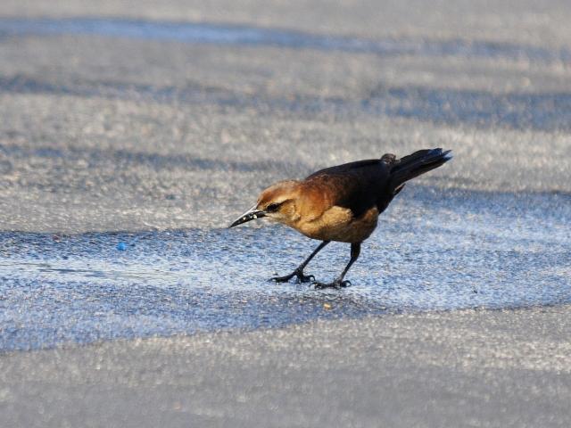 キタオナガクロムクドリモドキ (8態-3) ブラック・ポイント・ドライブ メリット島国立野生動物保護区 メリット島 フロリダ 米国 Black Point Wildlife Drive, Merritt Island National Wildlife Refuge, 2013/06/02, Photo by Kohyuh
