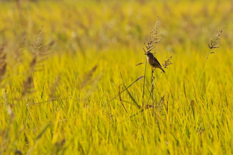 ノビタキ (12態-3) 大谷川 八幡市 2015/10/07 - 2015/10/16 Photo by Takase
