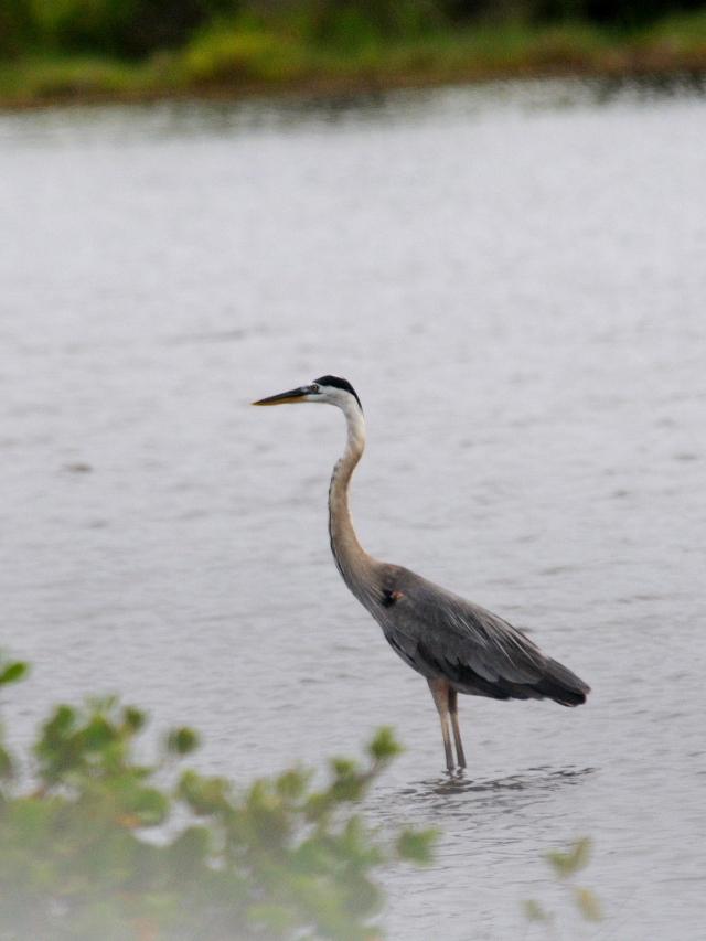 オオアオサギ ブラック・ポイント・ドライブ メリット島国立野生動物保護区 メリット島 フロリダ 米国 Black Point Wildlife Drive, Merritt Island National Wildlife Refuge, Merritt Island, Atlantic coast of Florida, USA, 2013/06/02 Photo by Kohyuh