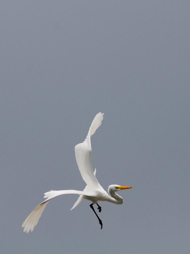 ダイサギ 冬羽(3態-2) ブラック・ポイント・ドライブ メリット島国立野生動物保護区 メリット島 フロリダ 米国 Merritt Island National Wildlife Refuge, Merritt Island, Atlantic coast of Florida, USA 2013/06/02 Photo by Kohyuh