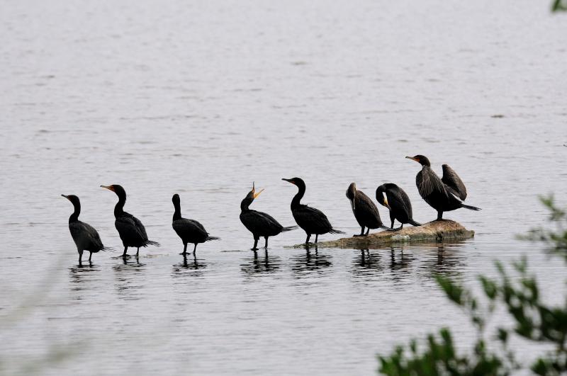 ミミヒメウ (4態-4) ブラック・ポイント・ドライブ メリット島国立野生動物保護区 メリット島 フロリダ 米国 Black Point Wildlife Drive&quot, Merritt Island National Wildlife Refuge, Merritt Island 2013/06/02 Photo by Kohyuh
