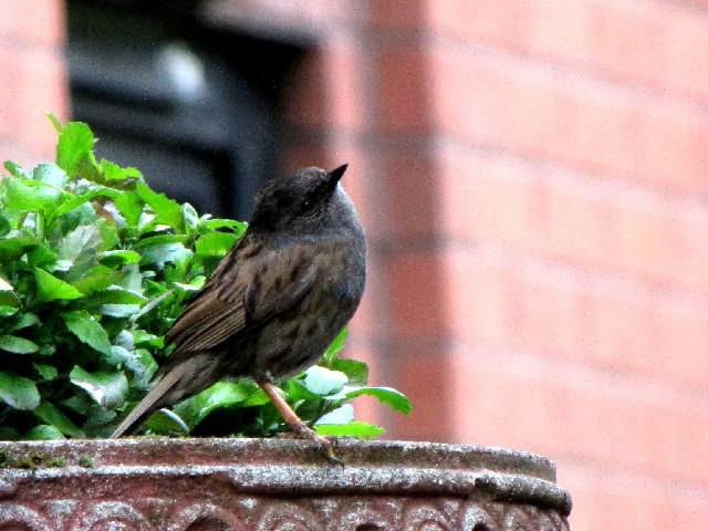 �@  ヨーロッパカヤクグリ 成鳥 グラスゴー スコットランド Glasgow, Scotland 2009/05/27 Photo by Kohyuh