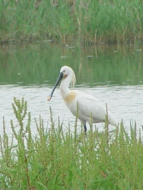 �C ヘラサギ ノイジートラー湖 オーストリア Nuesiedler See, Austria 2007/06/06 Photo by Kohyuh