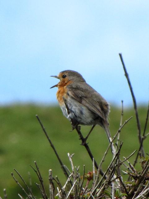 ⑤ ロビン (ヨーロッパコマドリ) 成鳥 コネマラ国立公園 アイルランド Connemara National Park, Ireland 2009/06/08 Photo by Kohyuh