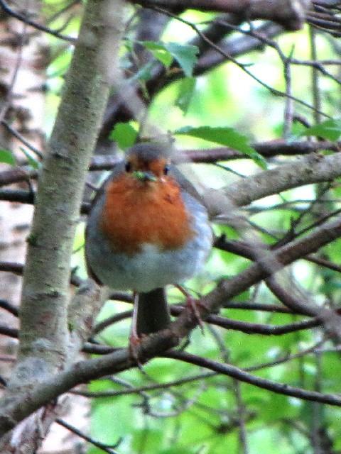 ③ ロビン (ヨーロッパコマドリ) 成鳥 グレンコー スコットランド Glencoe, Scotland 2009/05/31 Photo by Kohyuh