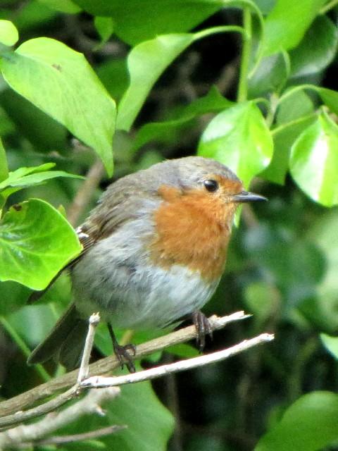 ④ ロビン (ヨーロッパコマドリ) 成鳥 アラン島 アイルランド Aran Island, Ireland 2009/06/07 Photo by Kohyuh