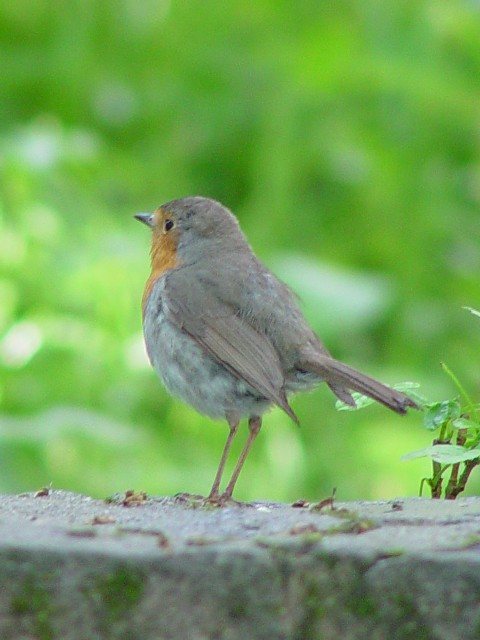 ① ロビン (ヨーロッパコマドリ) 成鳥 シナイア ルーマニア Sinaia, Romania 2008/06/13 Photo by Kohyuh