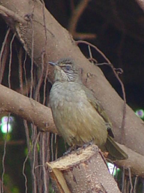 �@ ミミジロヒヨドリ 成鳥 シェムリアップ カンボジア Siem Reap, Cambodia 2007/01/29 Photo by Kohyuh