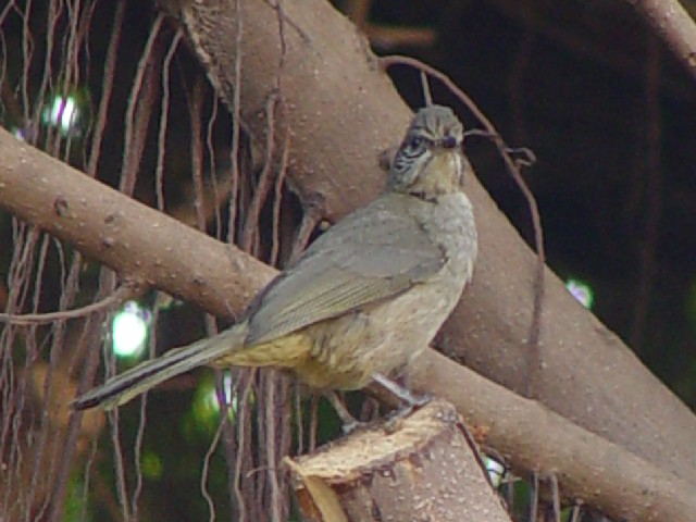 �A ミミジロヒヨドリ 成鳥 シェムリアップ カンボジア Siem Reap, Cambodia 2007/01/29 Photo by Kohyuh