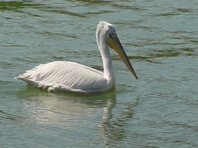 �@ ハイイロペリカン 成鳥 ケルキニ湖 ギリシャ Kerkini, Greece 2008/05/28 Photo by Kohyuh