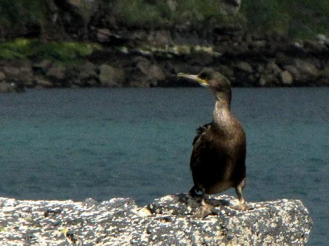 �@ ヨーロッパヒメウ 若鳥 ポートリー スカイ島 スコットランド Potree, Isle of Skye, Scotland 2009/05/22 Photo by Kohyuh