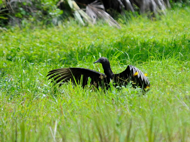 ヒメコンドルの幼鳥 (6態-1) マイアミ近郊 in the suburbs of Miami, Florida, USA 2013/06/02 Photo by Kohyuh