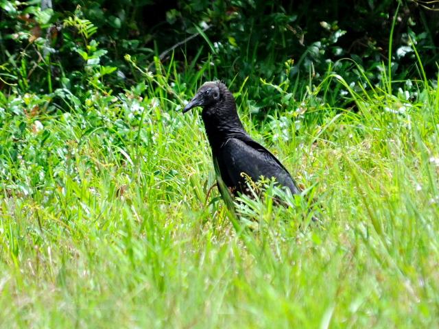ヒメコンドルの幼鳥 (6態-3) マイアミ近郊 in the suburbs of Miami, Florida, USA 2013/06/02 Photo by Kohyuh