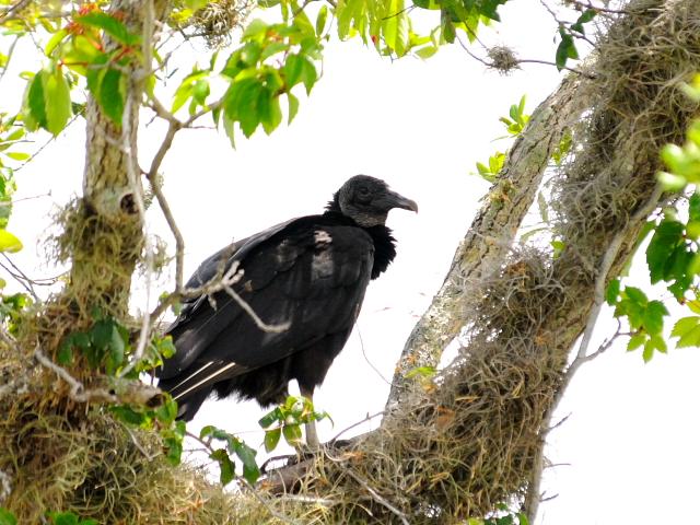 ヒメコンドルの幼鳥 (6態-4) マイアミ近郊 in the suburbs of Miami, Florida, USA 2013/06/02 Photo by Kohyuh