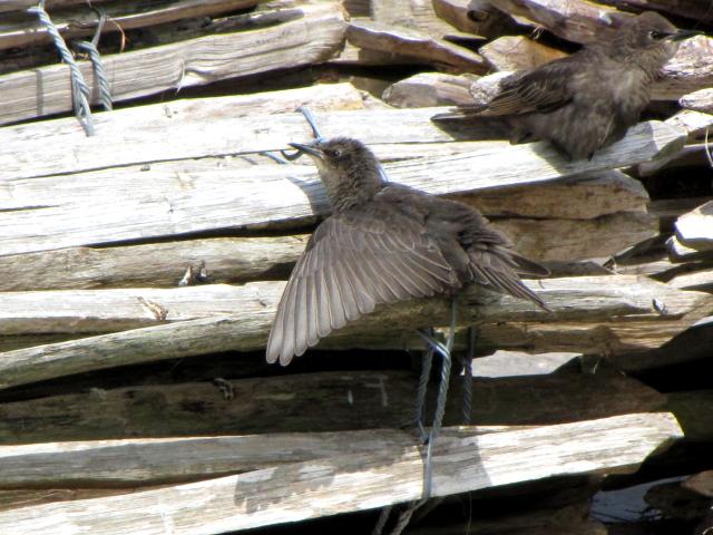 ホシムクドリの幼鳥 (2態-1) イニシュボーフィン島 アイルランド Inishbofin Island, Ireland 2009/06/09 Photo by Kohyuh