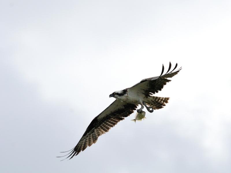 ミサゴ (7態-2) メリット島国立野生動物保護区 メリット島 フロリダ 米国 Merritt Island National Wildlife Refuge Merritt Island, Atlantic coast of Florida, USA 2013/06/02 Photo by Kohyuh
