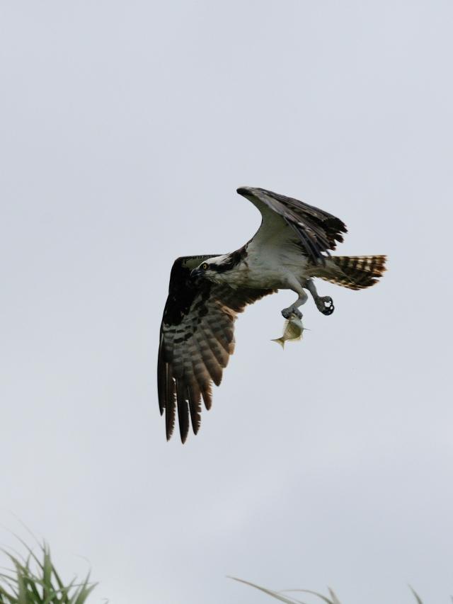 ミサゴ (7態-3) メリット島国立野生動物保護区 メリット島 フロリダ 米国 Merritt Island National Wildlife Refuge Merritt Island, Atlantic coast of Florida, USA 2013/06/02 Photo by Kohyuh