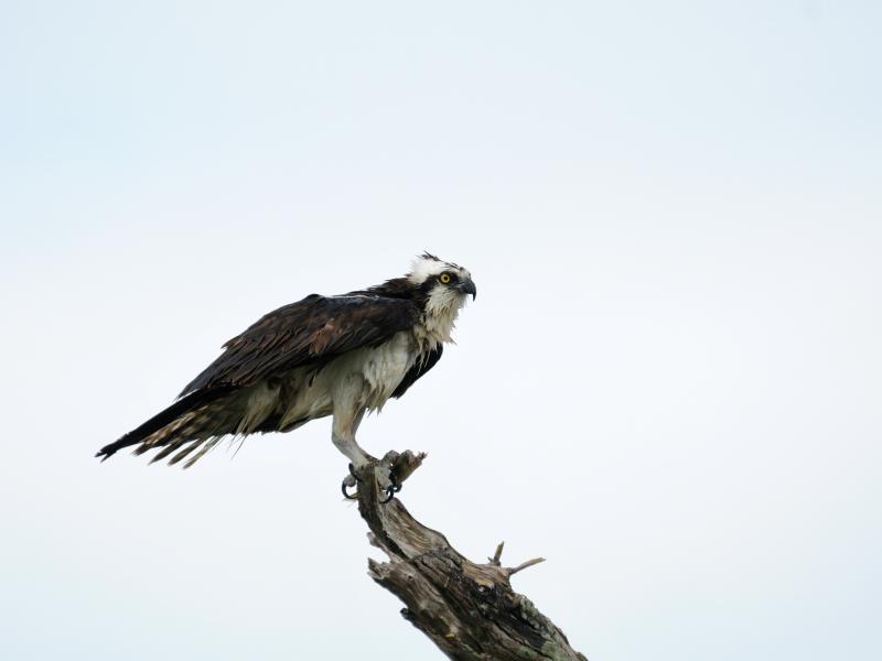 ミサゴ (7態-4) メリット島国立野生動物保護区 メリット島 フロリダ 米国 Merritt Island National Wildlife Refuge Merritt Island, Atlantic coast of Florida, USA 2013/06/02 Photo by Kohyuh