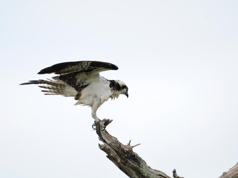 ミサゴ (7態-5) メリット島国立野生動物保護区 メリット島 フロリダ 米国 Merritt Island National Wildlife Refuge Merritt Island, Atlantic coast of Florida, USA 2013/06/02 Photo by Kohyuh
