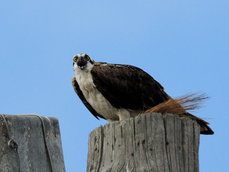 ミサゴ (7態-7) メリット島国立野生動物保護区 メリット島 フロリダ 米国 Merritt Island National Wildlife Refuge Merritt Island, Atlantic coast of Florida, USA 2013/06/02 Photo by Kohyuh
