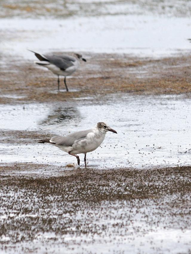ワライカモメ (5態-3) メリット島国立野生動物保護区 メリット島 フロリダ 米国 Merritt Island National Wildlife Refuge, Merritt Island, Atlantic coast of Florida, USA 2013/06/02 Photo by Kohyuh