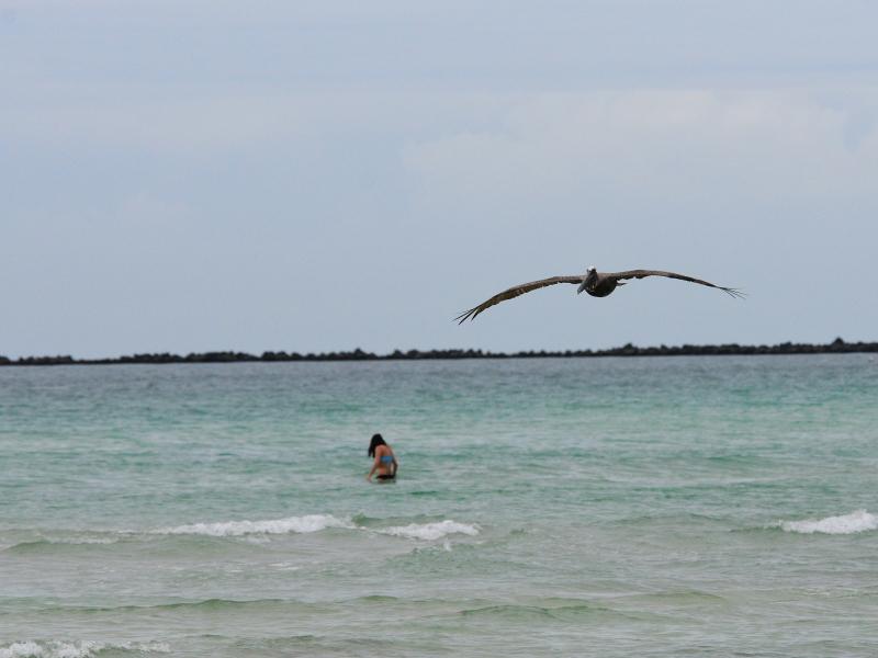 カッショクペリカン (7態-2) マイアミビーチ フロリダ 米国 Miami Beach, Florida, USA 2013/06/02 Photo by Kohyuh