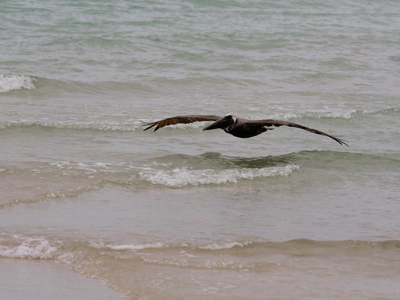 カッショクペリカン (7態-3) マイアミビーチ フロリダ 米国 Miami Beach, Florida, USA 2013/06/02 Photo by Kohyuh