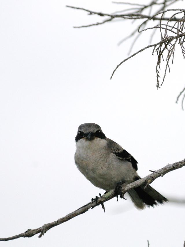 アメリカオオモズ成鳥(9態-6) ブラック・ポイント・ドライブ メリット島国立野生動物保護区 メリット島 フロリダ 米国 Black Point Wildlife Drive, Merritt Island National Wildlife Refuge, Merritt Island  2013/06/02 Photo by Kohyuh